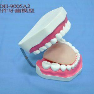 保健牙教學模型
