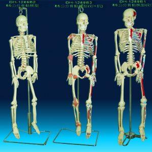 人體骨骼教學模型