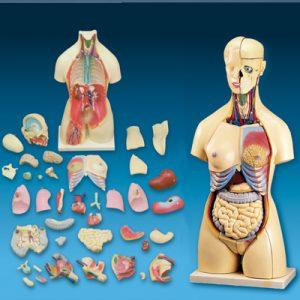 人體內臟教學模型